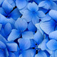 "Чехол для iPod Touch 5 ""Синие цветы"" - интернет-магазин чехлов endorphone.com.ua"