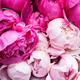 """Гибридный чехол для iPhone 5 """"Розовые пионы"""" - интернет-магазин чехлов endorphone.com.ua"""
